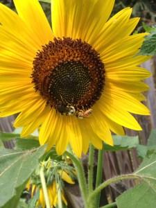 Sunflowers-Bryan-Bender