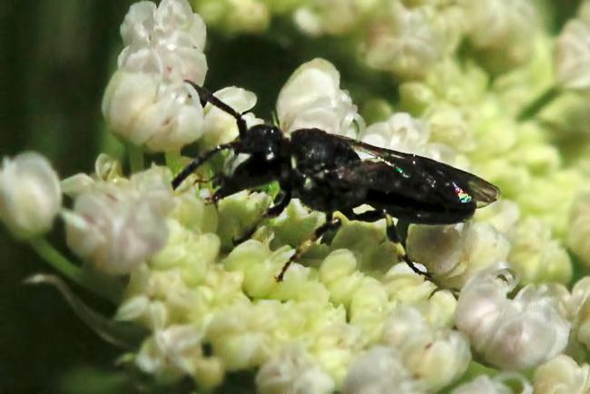 Hylaeus male