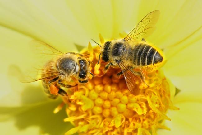 Honey bee and M perihirta
