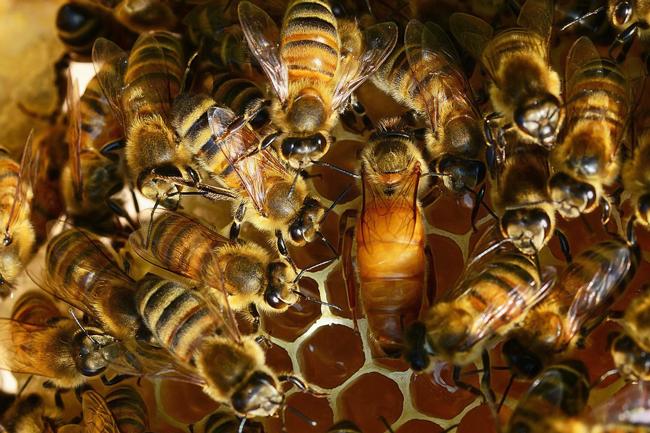 queen-bee-on-comb-pixabay