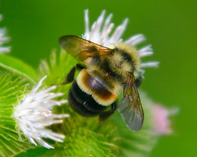 The rusty-patched bumble bee has been listed as endangered by the US Fish and Wildlife Service.