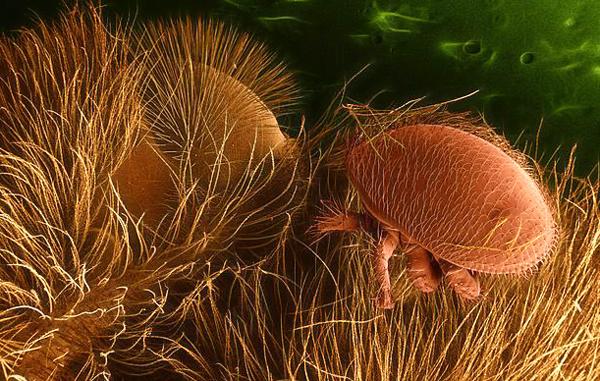 Varroa-destructor-on-honey-bee.-600px