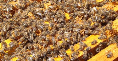 Bees-in-hive-Pixabay