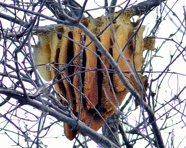 Free-hanging honey bee nest in Minnesota