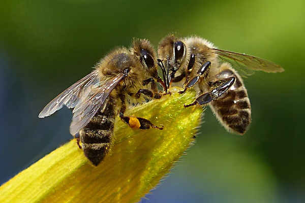 Two-honey-bees: why new beekeepers will quit.