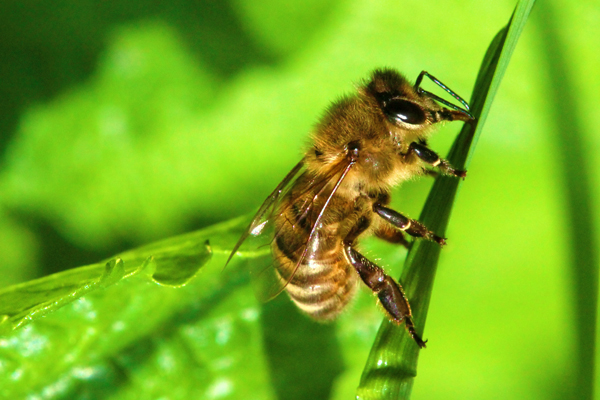 Natural forage helps make healthy honey bees?