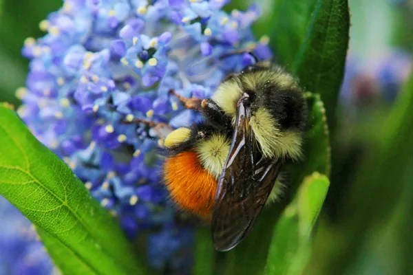 This black-tailed bumble bee is foraging on Ceanothus.