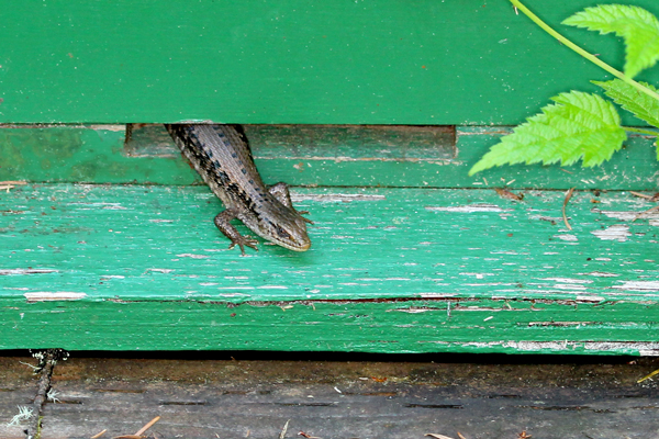 Lizard in a bait hive. Close up.