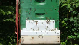 What makes honey bees aggressive? - Honey Bee Suite
