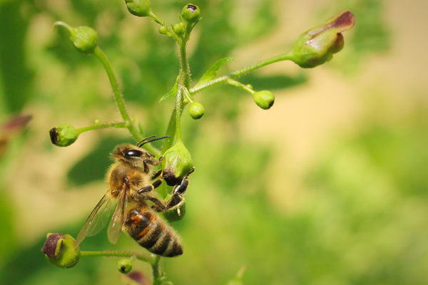 Honey bee on figwort flower.