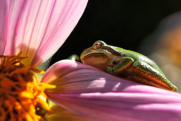 Pacific tree frog on dahlia.