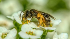 Let mining bees be - Honey Bee Suite