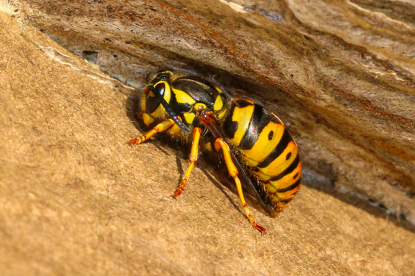 Aerial yellowjacket in nest.