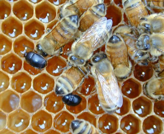 Small hive beetles in a hive with honey bees. CSIRO [CC BY 3.0 (https://creativecommons.org/licenses/by/3.0)], via Wikimedia Commons.