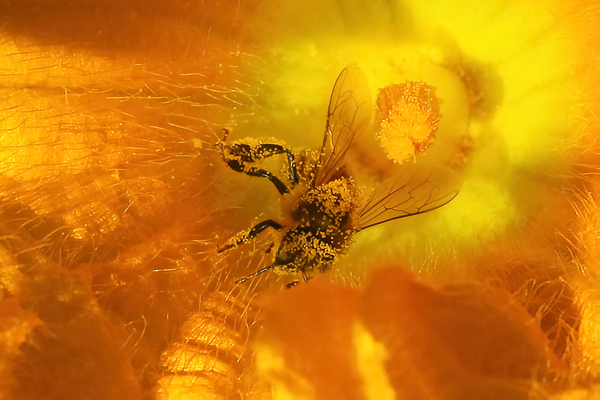 Pollen tramp: This messy honey bee, my idea of a pollen tramp, was frolicking in a squash blossom.