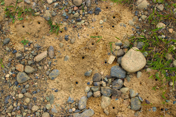 This aggregation of tiny holes is right in the middle of a gravelly logging road, in a sunny flat spot.