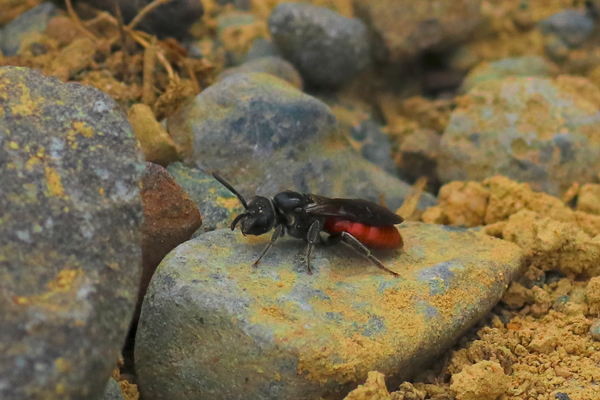The <em>Sphecodes</em> can often be seen sitting on the sidelines, waiting for an opportunity.