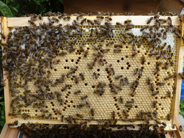 Brood rearing: The cappings of brood cells have a pebbly texture and are very close in color to the comb they are attached to. In contrast, honey cappings (upper right) have a smoother, more uniform surface and may have a lighter color.