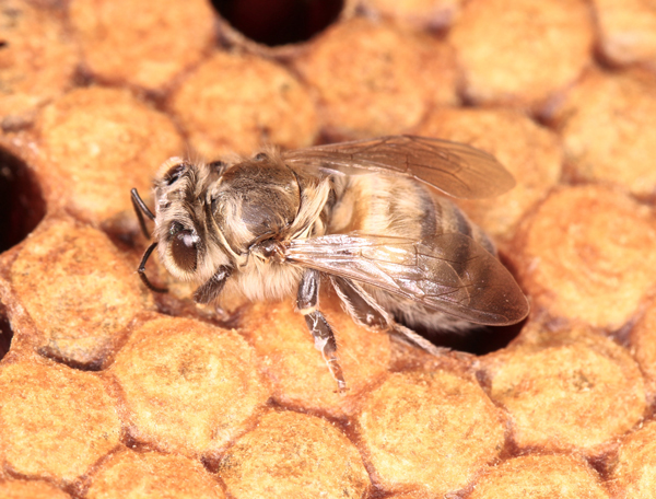 Tenerals are young bees that have just emerged. They have a pale color that darkens as their exoskeleton hardens.