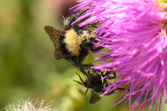 All bees compete with each other. Here a native bumble bee uses its right front leg to push a native leafcutter bee off a thistle flower.