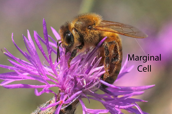 Honey bee's marginal cell: The marginal cell of a honey bee wing is long and narrow, running almost to the wing tips.