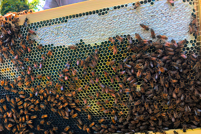 The eggs look well-centered in some areas. It's possible that an ineffective or intercaste queen is still in the hive, but her pheromone levels are too low to stop the development of laying workers. © Molly McMillion.