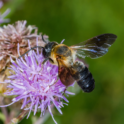 Megachile sculpturalis: Although this bee looks scary, she is mostly a danger to carpenter bees. The sculptured resin bee fancies the type of tunnel carpenter bees build and is willing to fight for them.