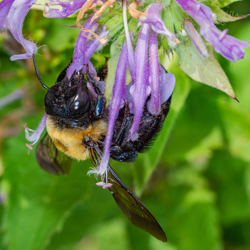 Xylocopa virginica: Often confused with bumble bees, the eastern carpenter bee has a shiny, nearly hairless abdomen. Although they can easily bore into wooden structures, they are usually discouraged by paint.