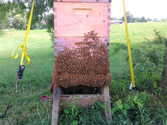 Although you can't see them, even more bees are hanging on underneath the hive. © Debbie Fyda.