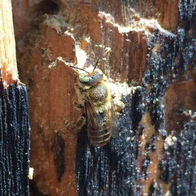 Lithurgus chrysurus: Introduced accidentally, this species bores holes in wood much like a carpenter bee. Although still limited in range, it has the potential to spread widely. Here, it is drilling into a covered bridge.