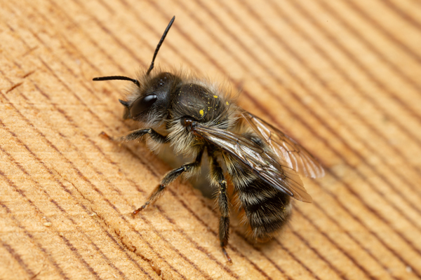 Osmia cornifrons:  This bee was imported from Japan into North America twice, once to the east coast and once into northern Utah. It is an excellent pollinator of orchard crops.