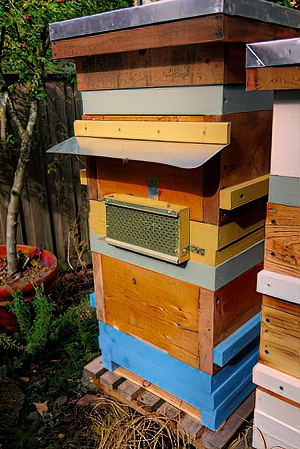 Stacked nucs showing reverse side. Yellow nuc with Snelgrove board entrance opposite that of the blue nuc. Entrance covered with wasp excluder. Grey rims are feeder frames.