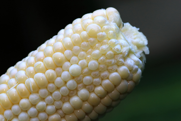 If any of the corn ovules are not fertilized, they remain small and undeveloped.