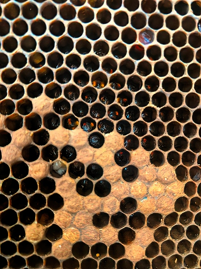 This photo shows dead and darkened larvae, some eggs, and the remaining capped brood.