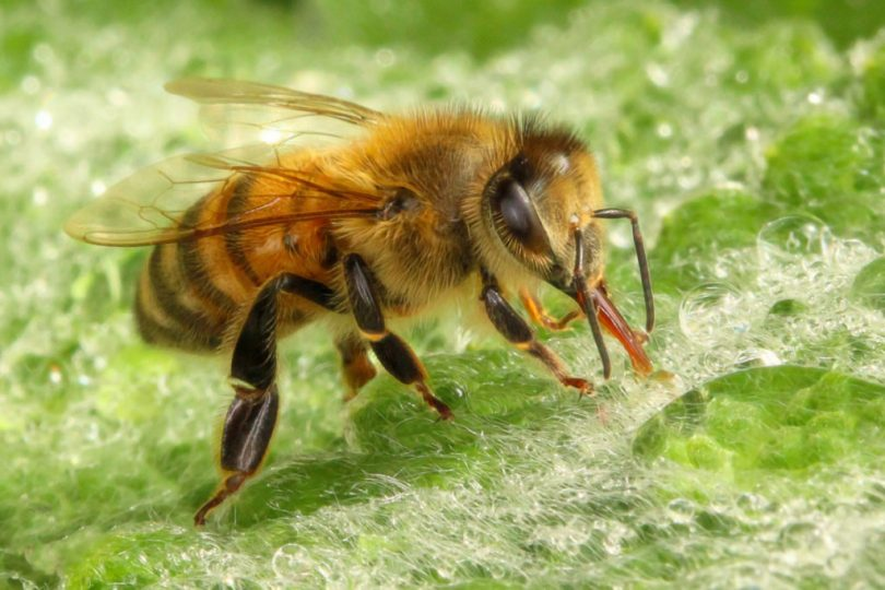 Honey bees have hairy compound eyes and extra-wide rear legs, especially the tibia and basitarsus. © Rusty Burlew.