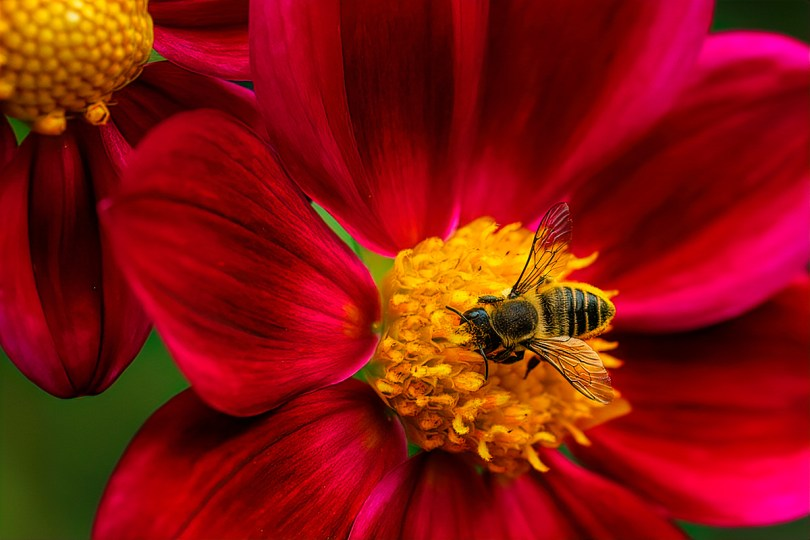 Leafcutting bee collecting dahlia pollen.