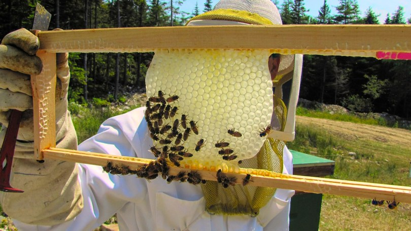 Here you can see a narrow starter strip in the frame where the bees have started a new white comb. Photo © Phillip Cairns, Mudsong.org