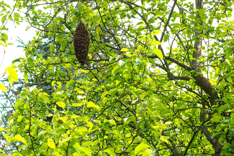 A second swarm in the pear tree.