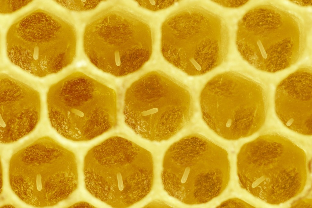 Larval development: When first laid, eggs stand vertically in the center of a brood cell.