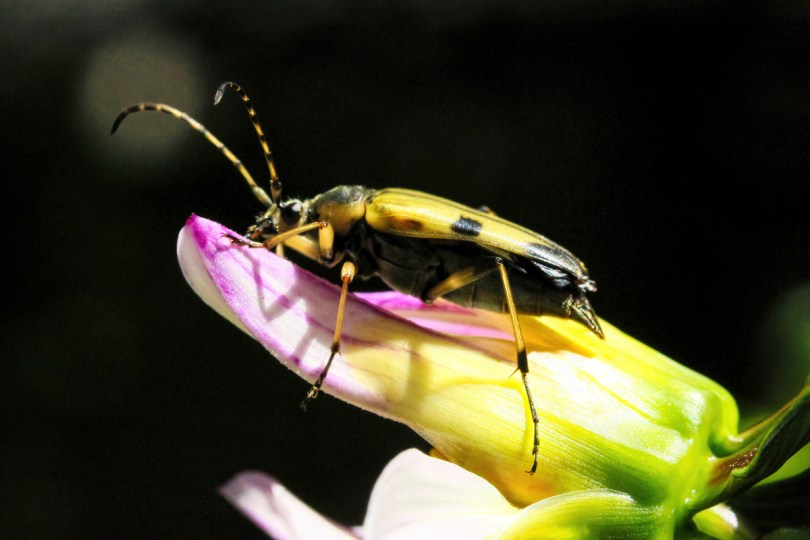 Beetle: Each beetle pollinates only a few flowers in a day, but the number of species and individuals is huge, all of which adds up to a lot of pollination.