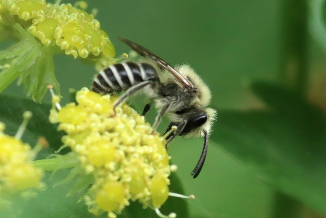 I never see this bee genus, Colletes, anywhere at my home except on the lovage.