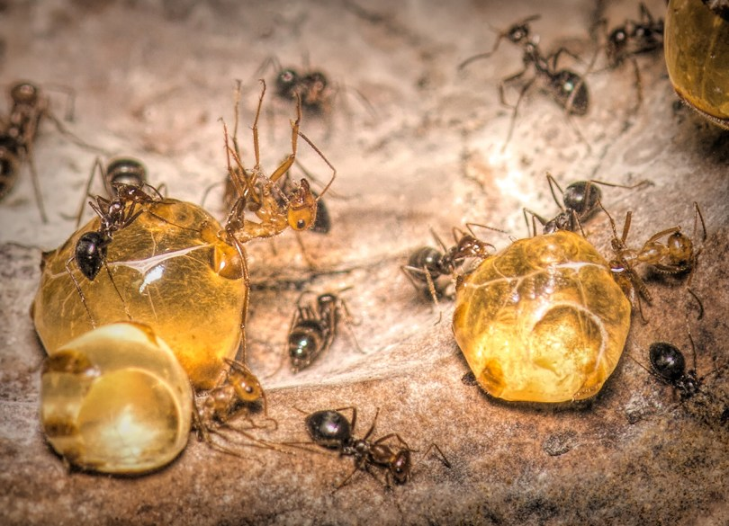 Honeypots ants, Myrmecocystus mimicus, store large amounts of honey in their abdomens. Here, three repletes hang off the right side of their own swollen abdomens.
