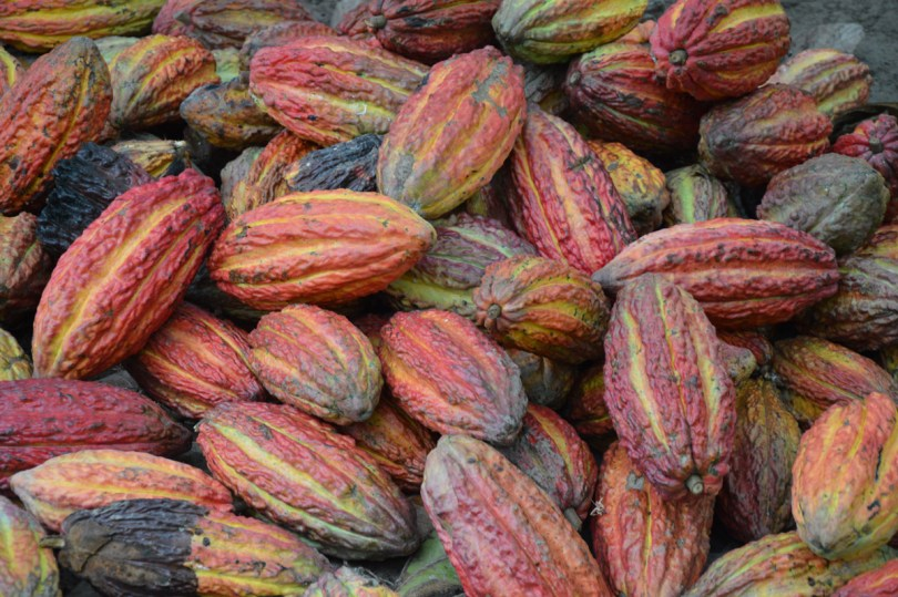 Cacao beans, nestled in large pods, are affected by the taste of place.