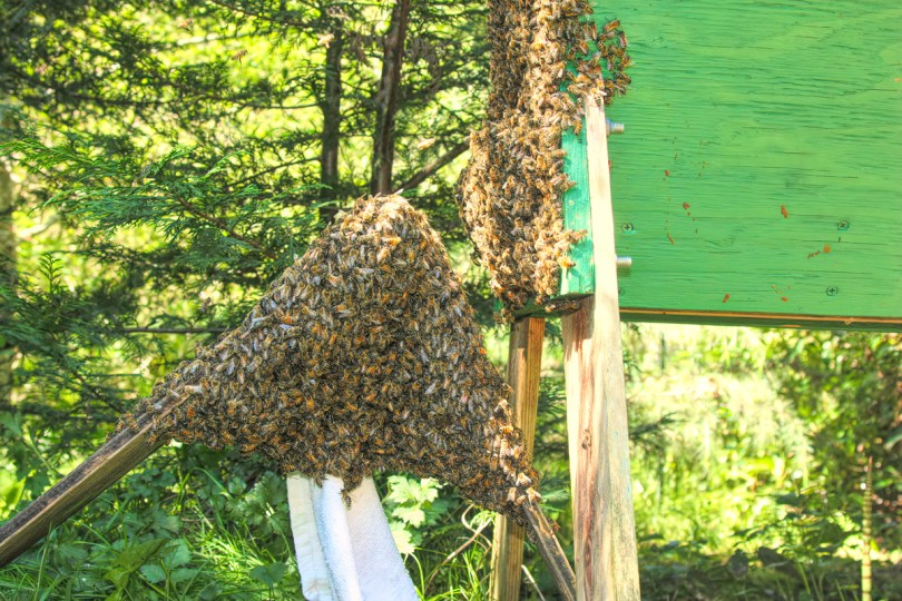 Once most bees are settled, I remove the sheet and carry the artificial swarm to a new home that I've prepared in advance.