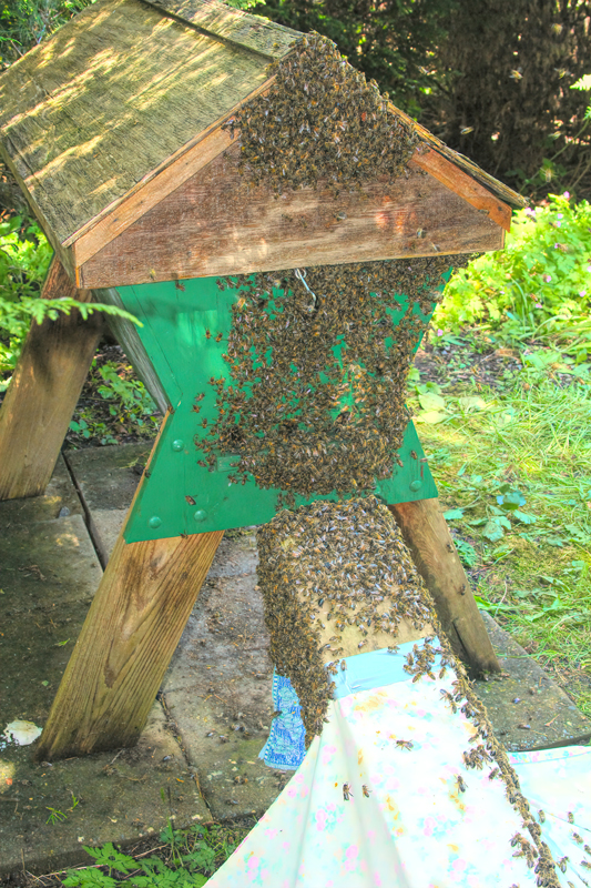 It doesn't take long for the bees to divide into two groups, separated only by those few inches.