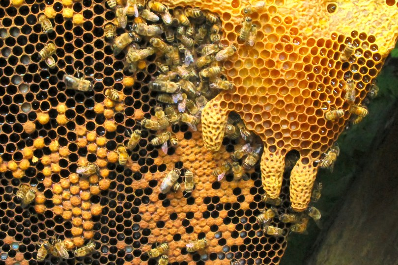The presence of many capped swarm cells throughout this hive meant it was ready to go.
