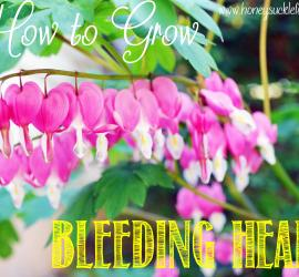 How to Successfully Grow Bleeding Hearts!
