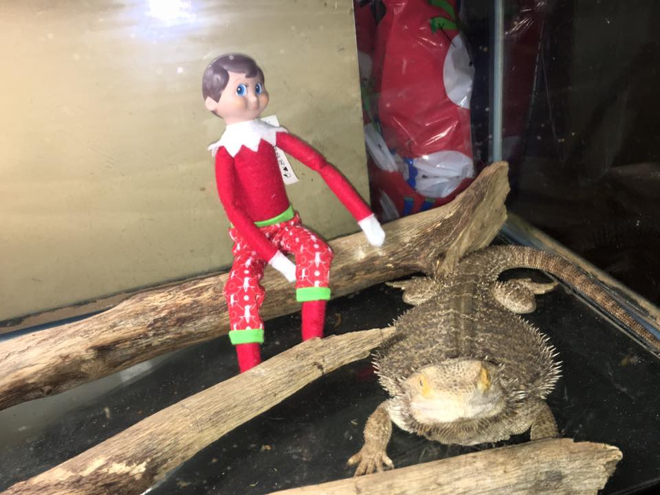 elf on the shelf ideas, Creative & unique elf ideas, Bearded Dragon