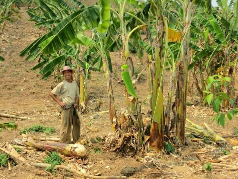 Banana Farmer Hsipaw