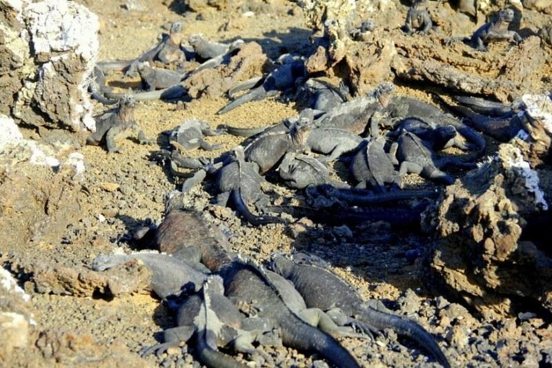Family of marine iguanas